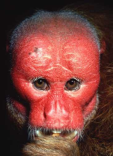 El Mono Más Feo Del Mundo Fotos Insaid Forocoches